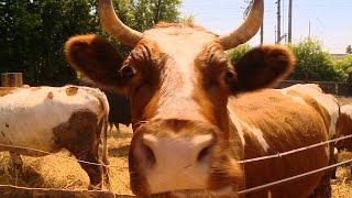 Репортаж недели #79. Как в Юдино выросла безубойная мини-ферма(Создание фермы, где коров никогда не отправят на бойню, — идея казанских активистов-вегетарианцев. Подобны..., 2016-06-19T06:05:40.000Z)