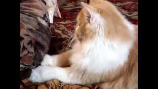Кошки 2014 - Рыжий кот играет!