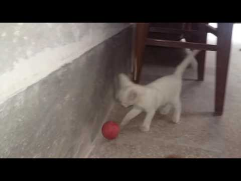 funny cute Russian white cat playing football