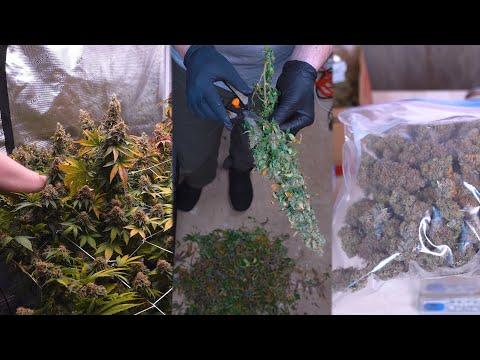 How I Grew Over 1 Gram Per Watt of Organic Cannabis