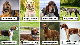 8 Hound Dog Breeds   Another Amazing Breed Of Dogs