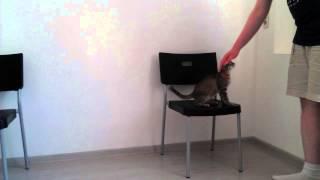 """Выполнение трюка """"Прыг"""" - дрессировка кошек"""