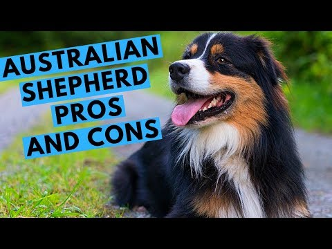 Australian Shepherd Dog Breed - Advantages and Disadvantages