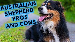 Australian Shepherd Dog Breed  Advantages and Disadvantages