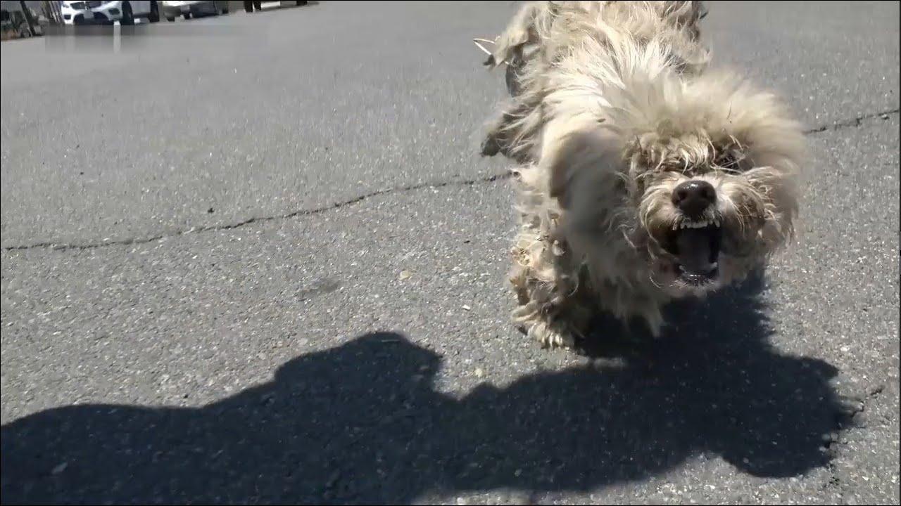 Cane ferito e arruffato combatte strenuamente. I volontari lo curano e gli donano una nuova vita