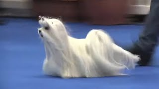 On this day Manchester 2017  Ian the Maltese Best in Show