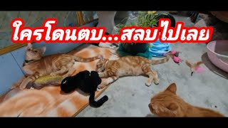 ใครโดนตบ..สลบไปเลย#ปังปอนลูกแม่เกียง #Stray#Cats#แมว