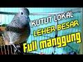Anggungan Perkutut Lokal Gacor Full Durasi Panjang Cocok Untuk Masteran  Mp3 - Mp4 Download