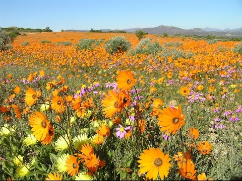Namaqualand: The flowering desert - South Africa