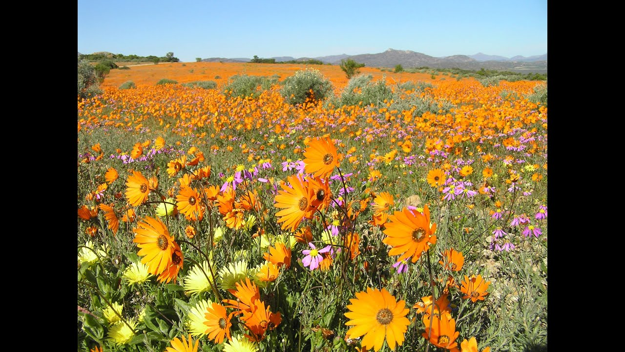 Namaqualand  The flowering desert   South Africa   YouTube