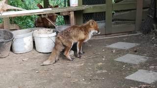 Fox hunting for chicken