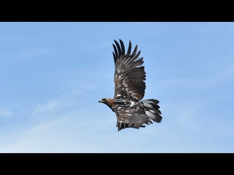 Wind Energy Vs. Golden Eagles - KQED QUEST