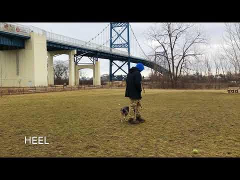 Dog Training: Mini Aussie Shepherd/ Blue Heeler Mix, Enyo! Before/After Training