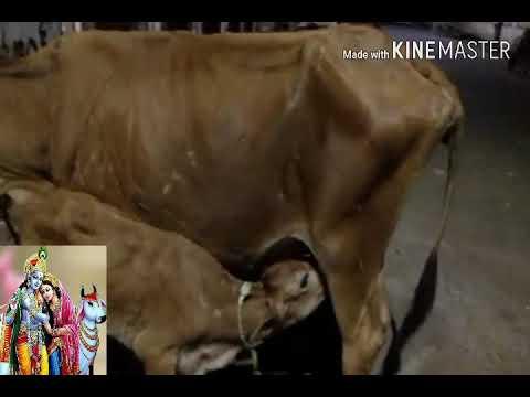 Cow feeding milk to her calf