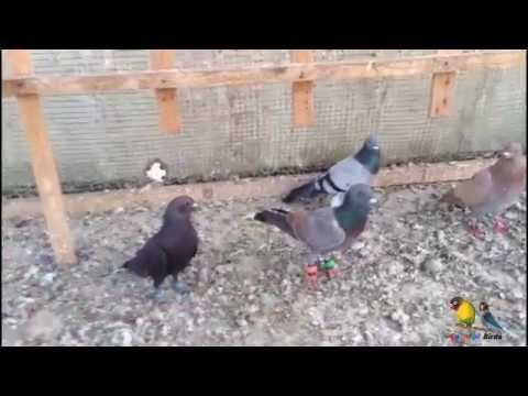 Pakrey Hovey Kabootar For Sale - Pigeons in Karachi