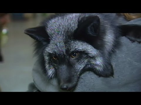 Wild Foxes as House Pets?