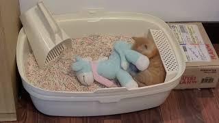 아기고양이 신튱양의 성장기 (두부변기 사용하기)