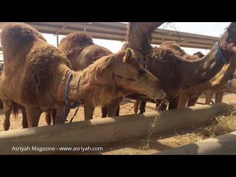 Fit Sister visits Camelicious farm and factory in Dubai