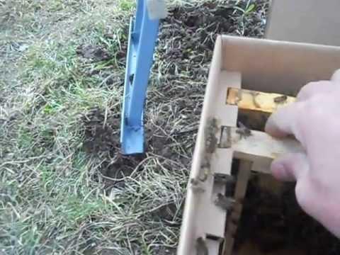 Пересадка пчелопакета карпатки из гофротары в рогатый улей.25.04.13.