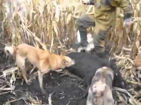 Видео: охота на кабана смотреть онлайн бесплатно на ютубе