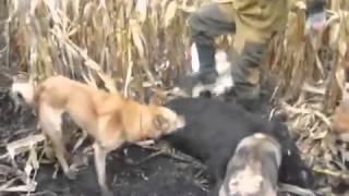 Охота на кабанов на кукурузе видео