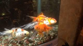Лечение Золотой Рыбки(Месяц назад моя рыбка заболела. Она стала плавать в скрюченном состоянии. На форуме мне ответили, что пробле..., 2014-09-07T11:17:54.000Z)