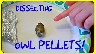 Dissecting Owl Pellets!