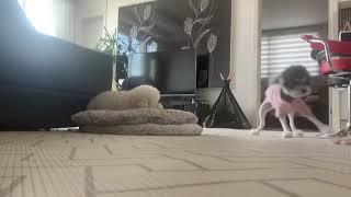 [꼬빵일상]한집 두강아지 생활