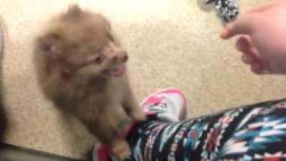 Cute, Yappy Pomeranian Puppy