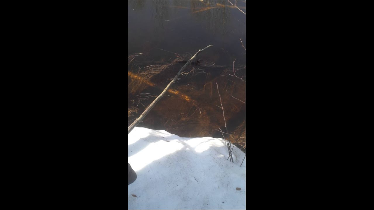 ловить кабана на петлю