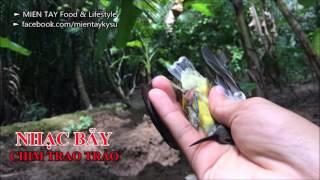 Tiếng Chim Trao Trảo - Hoành Hoạch mồi bẫy chuẩn không tạp âm