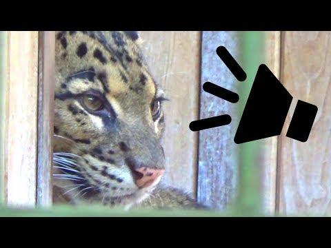Clouded Leopard Call (Scream Sound)