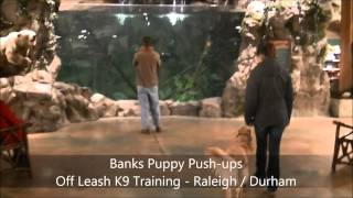"""1yo Golden Retriever """"banks"""" Before And After - Dog Training Raleigh Durham"""
