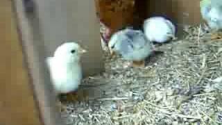 10 2 day old chicks pt2