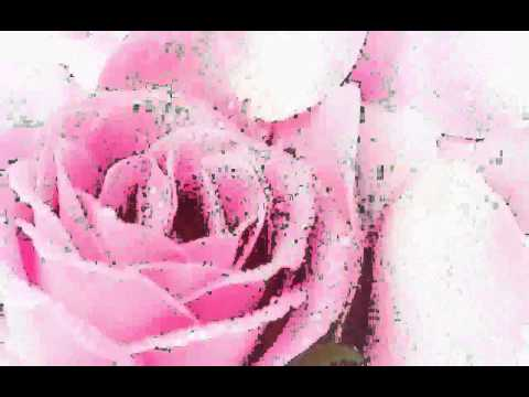 beautiful-pink-rose---images
