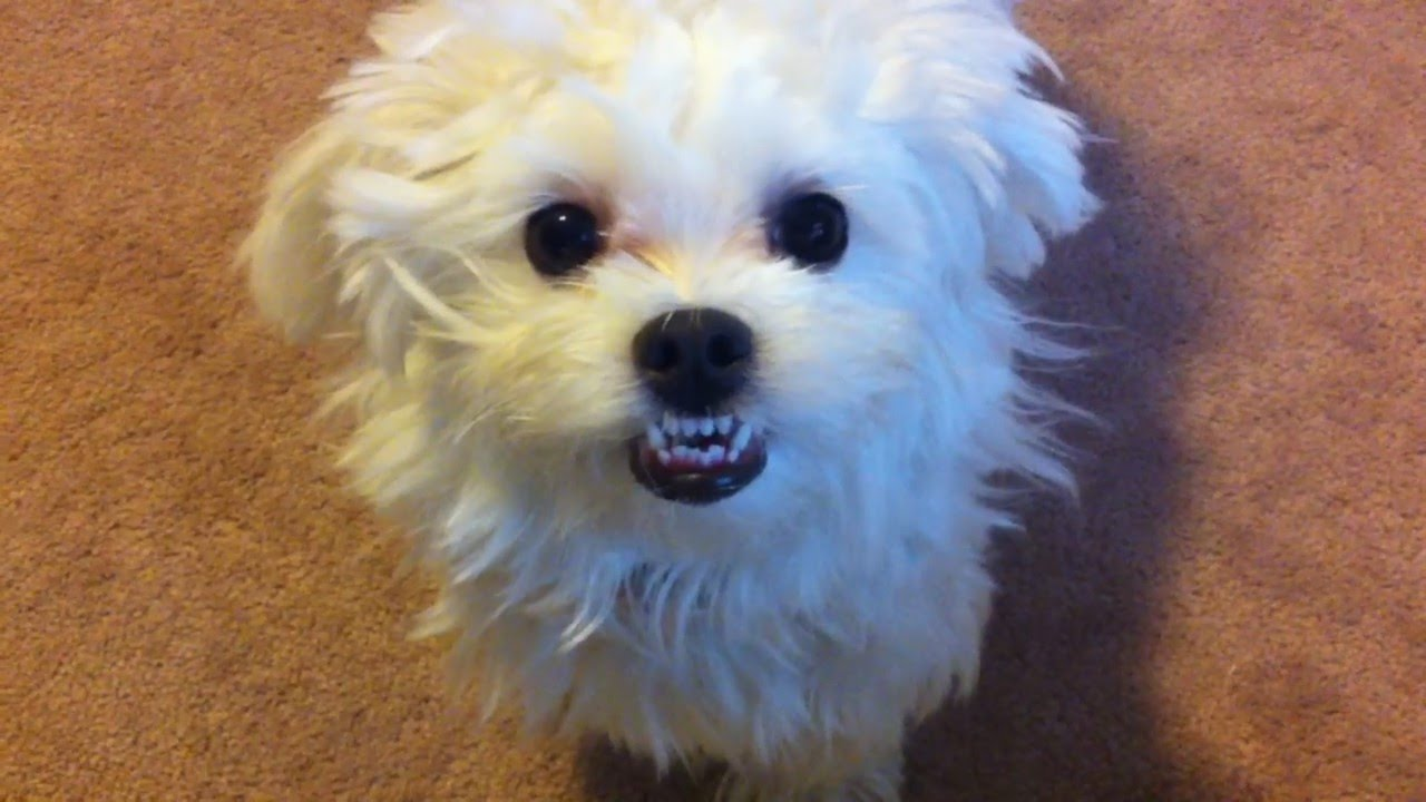 Why No Maltese In Dog Show