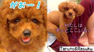 8月23日、生後59日目のRasukuと、7歳8ヶ月のTarutoです☆ ハイテン...