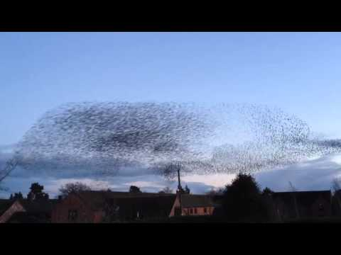 Extreme flock of starlings in flight