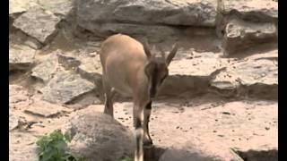 Природоведение 54. Дикие и домашние козы — Шишкина школа
