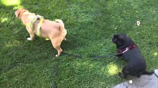 Pug party in the grass