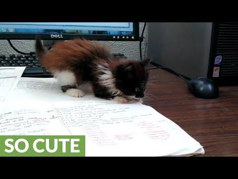 Kitten turns office desk into personal playground