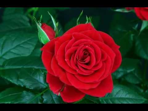 Как растет роза