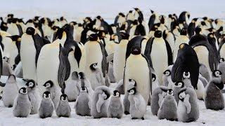 Gambar cover 7 curiosità sui pinguini imperatore