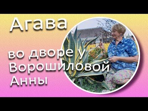 Агава очень живучий суккулент / Сад Ворошиловой