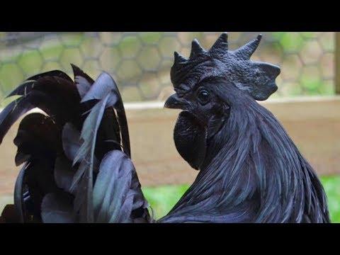 Ayam Cemani Chickens | The All Black Chicken