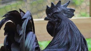 Ayam Cemani Chickens | The All Black Chicken