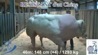 Przerośnięty mutant byka - czyli wołowina po Belgijsku
