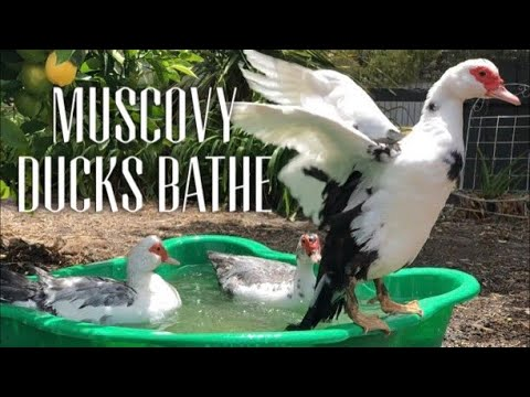 MUSCOVY DUCKS  - WATCH MUSCOVIES SHARE A BATH TO RELAX