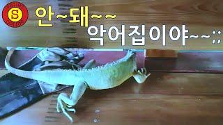 이구아나! 할퀴면 어떻게해~~ㅠㅠ 파충류(Reptile…