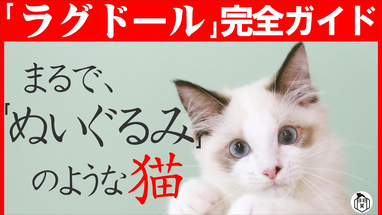中身は小悪魔…!?外見はぬいぐるみ…!【ラグドール魅力紹介】飼いやすい猫種ランキング上位常連の理由と魅力を解説します!猫種紹介#5